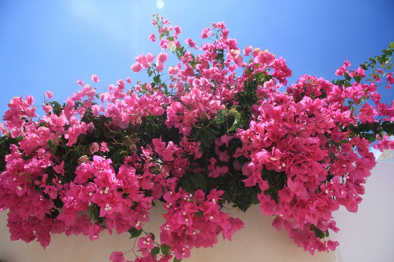 Wooden shoes and the danger of Bougainvillea thorns